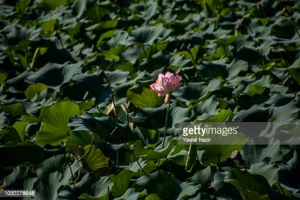 Lotus flowers and it's fruits ready to harvest in Dal lake on September 12 2018 in Srinagar the summer capital of Indian administered Kashmir India...
