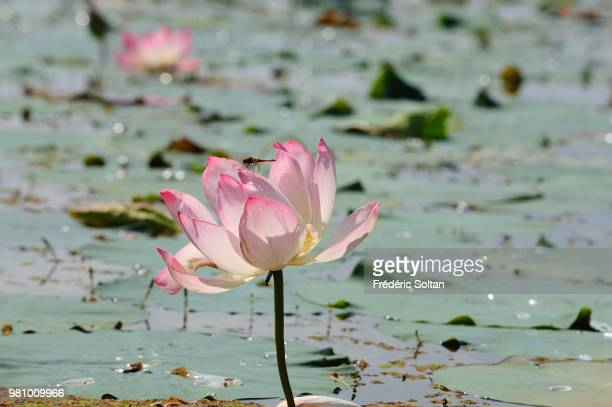 Lotus Feet Stock Photos And Pictures