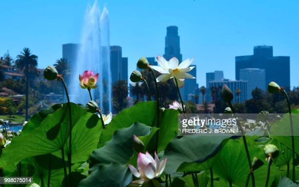 Lotus flowers bloom at Echo Park Lake in Los Angeles California on July 13 a day before the 38th annual Lotus Festival which celebrates the...
