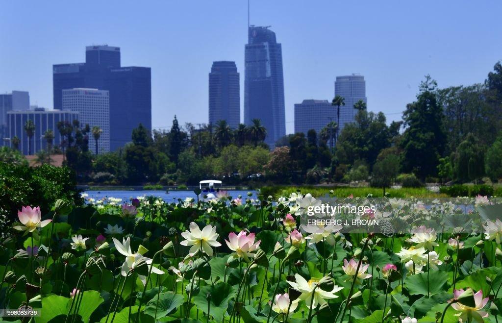 Lotus Flowers Bloom At Echo Park Lake In Los Angeles California On