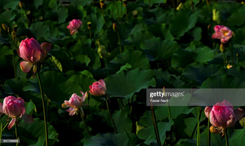 Lotus flowers bloom in the floating lotus garden in Dal lake on August 22, 2017 in Srinagar, the summer capital of Indian administered Kashmir, India. Lotus flowers are in full bloom in ecologically rich Dal Lake. The flowers and leaves rise on their slender stalks three or four feet from the surface of the lake in the months of July and August. Its root, Nadru or Nelumbo nucifera, is a savoured delicacy of Kashmir people and fetches over $7,920,164 (50 Crore INR) annually for vegetable dealers.