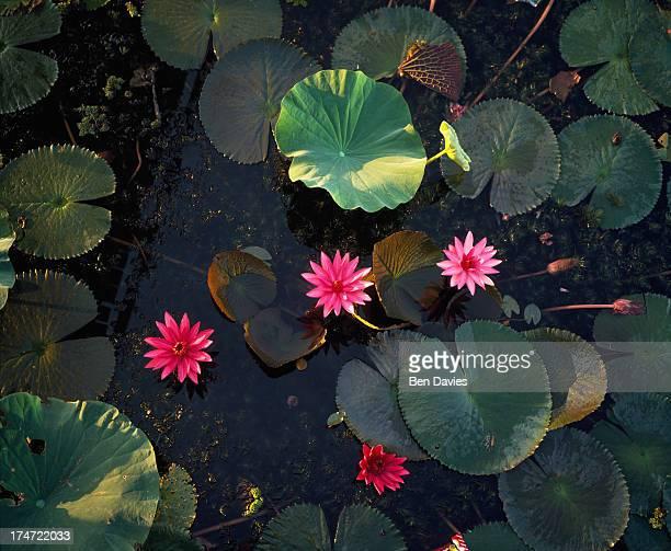 NOI PHATTALUNG PHATTHALUNG THAILAND Lotus flowers in beautiful Thale Noi Bird Park in Phatthalung Southern Thailand Although Thailand's flora has...
