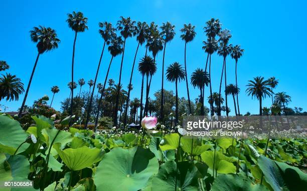 Lotus flowers near full bloom at Echo Park lake amid an ongoing southern California heatwave in Los Angeles California on June 26 2017 The heatwave...
