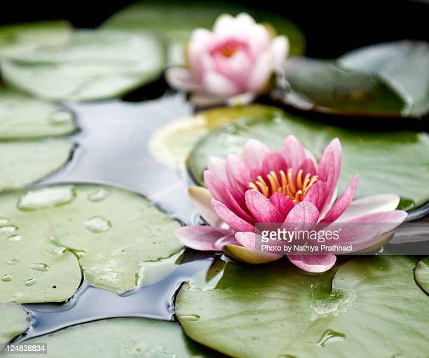 lotus flowers - water lily stock photos and pictures