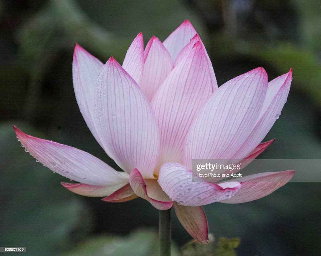 Lotus Flowers Stock Photo Getty Images