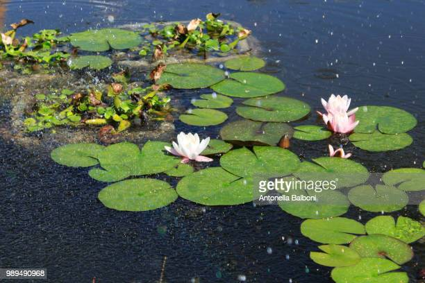 lotus flowers - antonella stock photos and pictures