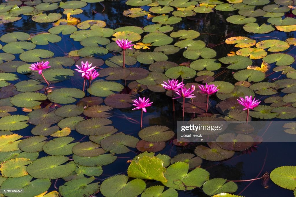 Lotus Flowers Thailand Stock Photo Getty Images