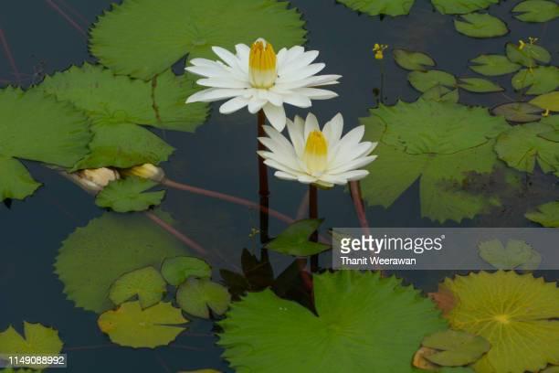 Lotus flowers, Waterlily