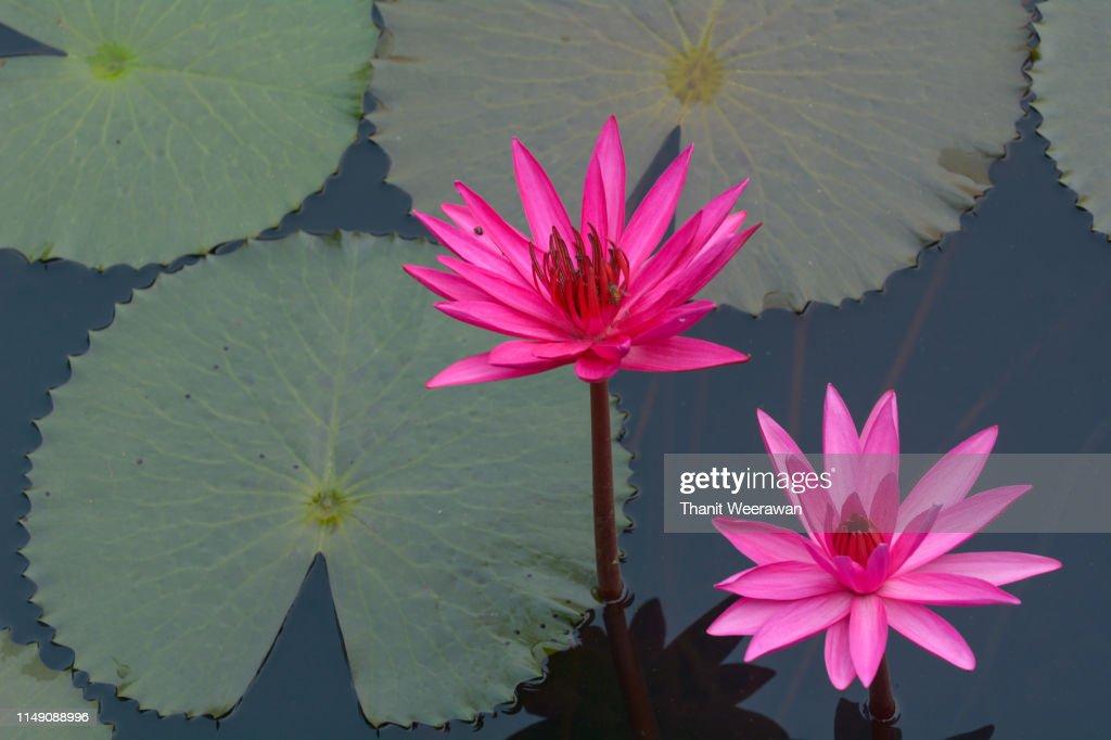 Lotus flowers, Waterlily : Stock Photo