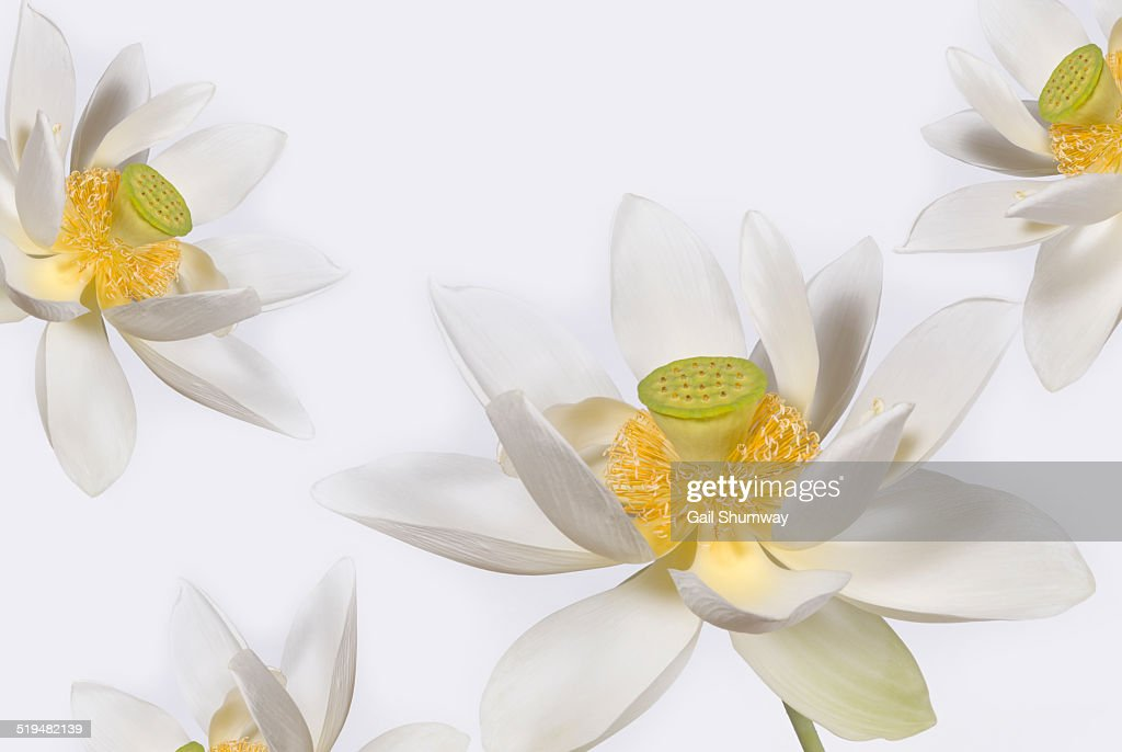 lotus flowers white background ストックフォト getty images