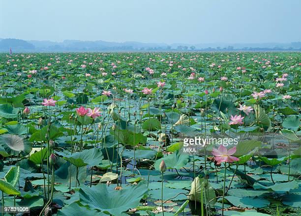lotus, kurihara, miyagi, japan - miyagi prefecture stock pictures, royalty-free photos & images