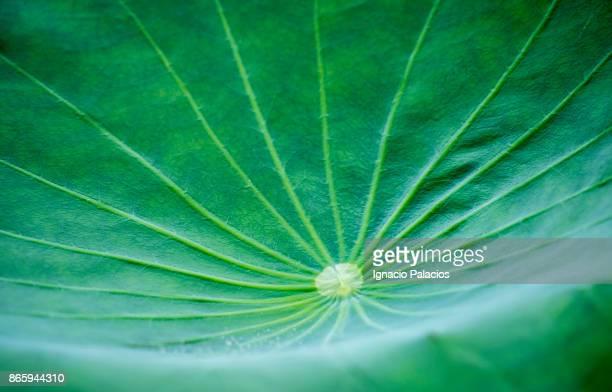 Lotus leaf, Jogyesa temple, Seoul