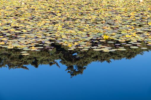 Lotus Leaves on Pond, Gyeongju, South Korea - gettyimageskorea