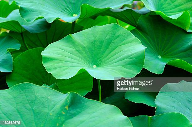 Lotus (Nelumbo) leaves