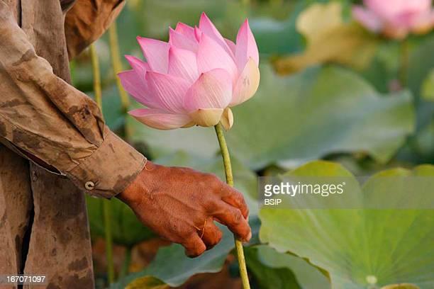 Lotus Lotus farmer in Cambodia