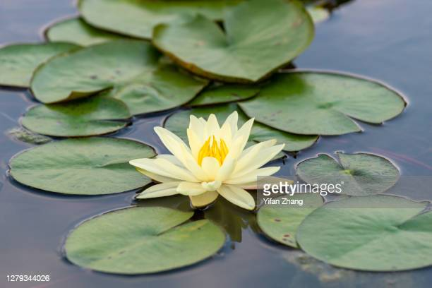 a lotus on the water is surrounded by lotus leaves - changzhou stock pictures, royalty-free photos & images
