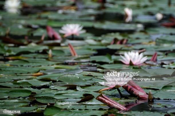 lotus on the water - pianta acquatica foto e immagini stock