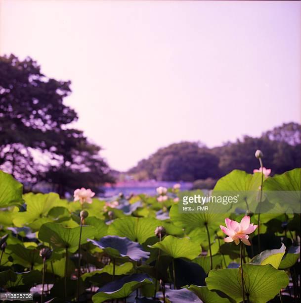 lotus - 山形県 ストックフォトと画像