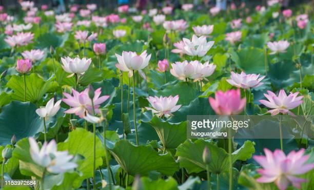 lotus - fiore di loto foto e immagini stock