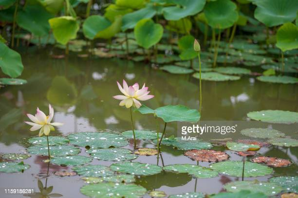 lotus - pianta acquatica foto e immagini stock