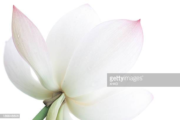 「ロータス - fiore di loto foto e immagini stock