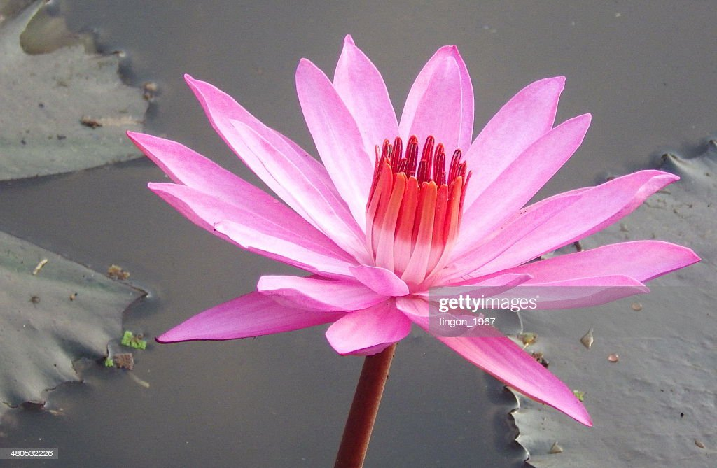 lotus : Foto stock