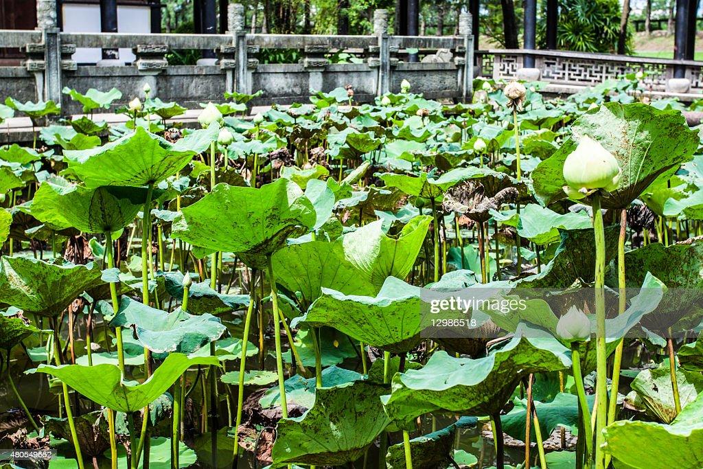 lotus : Foto de stock