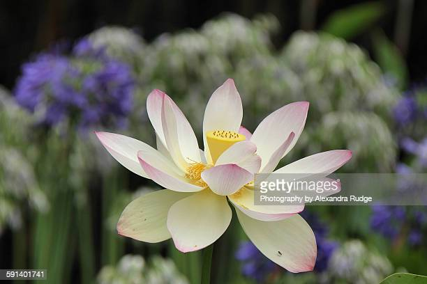 lotus - lily jordan stock pictures, royalty-free photos & images