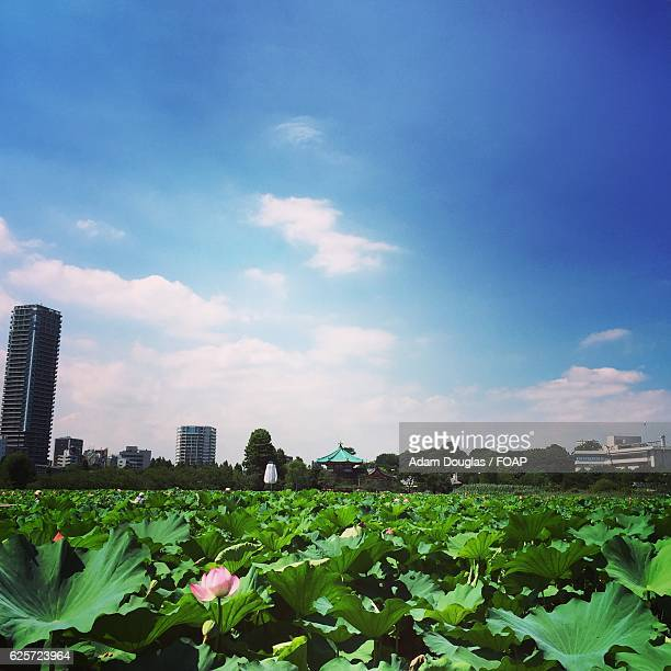 lotus plants in ueno park - adam rippon 2016 stock pictures, royalty-free photos & images