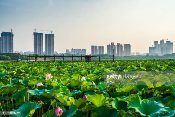 lotus pond in people's park,wuhan - wuhan stock pictures, royalty-free photos & images