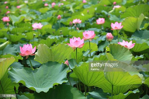 lotus pond - ornamental plant stock pictures, royalty-free photos & images