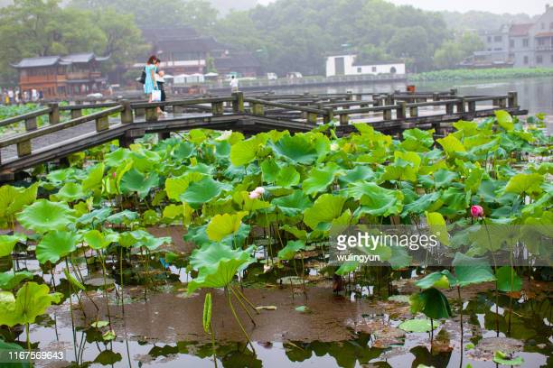 lotus scene of west lake - west lake hangzhou stock pictures, royalty-free photos & images