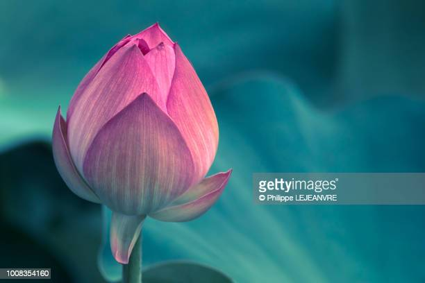 lotus water lily flower close-up - tropical flower stock photos and pictures