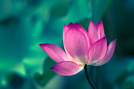 Lotus water lily flower close-up - gettyimageskorea
