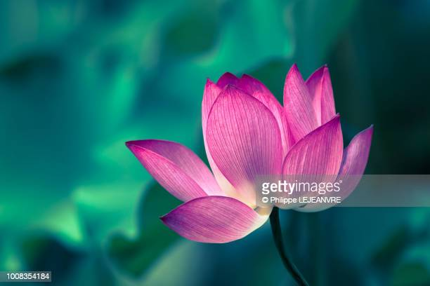 lotus water lily flower close-up - bocciolo foto e immagini stock