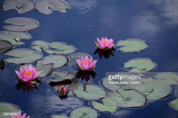 Lotus Water Lily In Lake