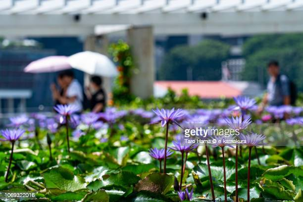 Lotus Water Lily in Marina Bay in Singapore