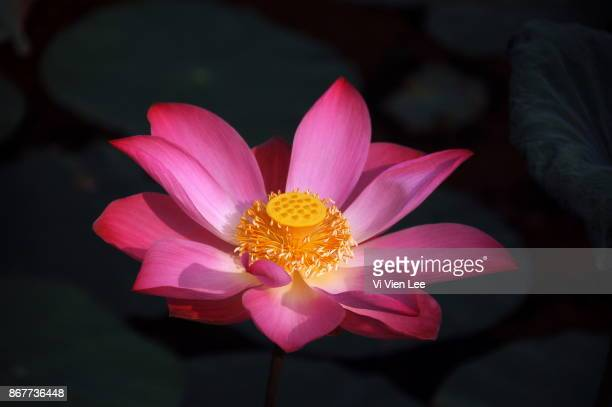 lotuses 2 - bodhisattva stock pictures, royalty-free photos & images