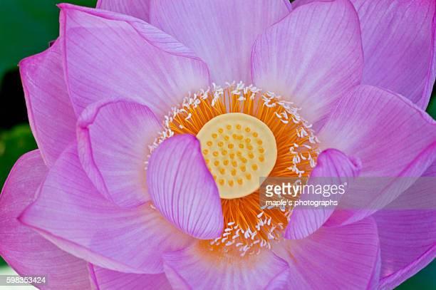 Lotus,Flower