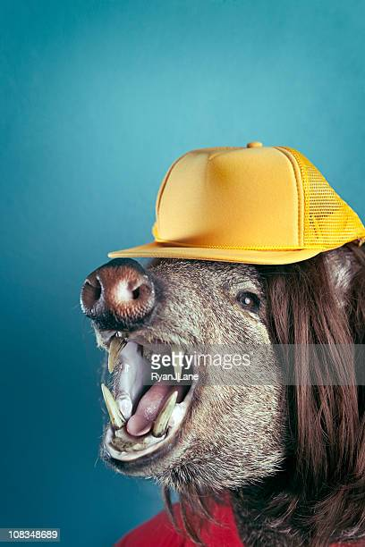 loud mouthed hillbilly boar head - ugly pig stock pictures, royalty-free photos & images
