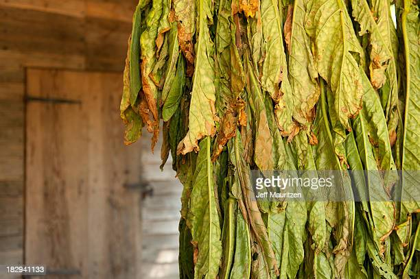 image of tobacco leaves drying upside down in a wooden shed. - drying stock pictures, royalty-free photos & images