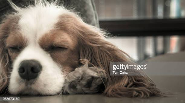 louie - cavalier king charles spaniel stock pictures, royalty-free photos & images