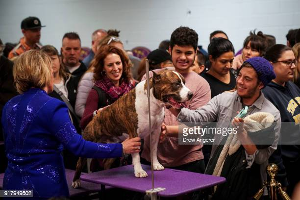 Louie the American Staffordshire Terrier draws a crowd backstage before the final night of competitionat the 142nd Westminster Kennel Club Dog Show...