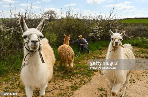 Louis Bornot owner of the Cirque Circus tends to lamas at the location where his travelling circus caravan is parked during a strict lockdown in...
