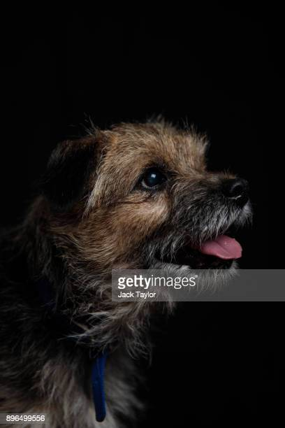 Louise, an 8-year-old Border Terrier who has been at Battersea for 94 days sits for a photograph at Battersea Dogs and Cats Home on December 20, 2017...
