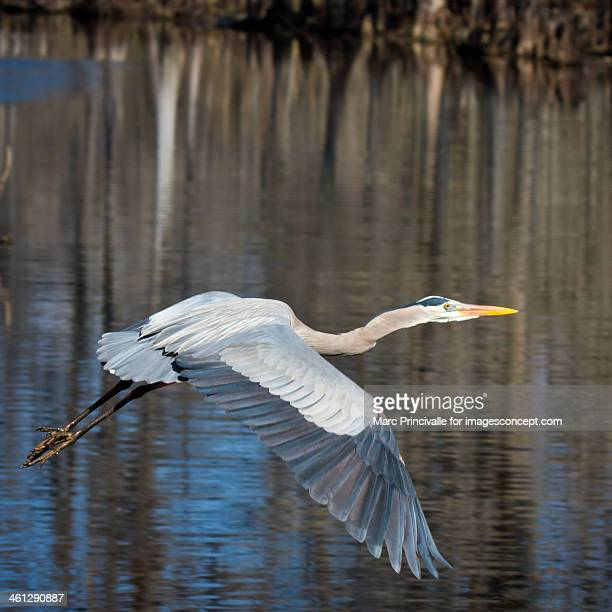 Louisiana Bird Great Blue Heron