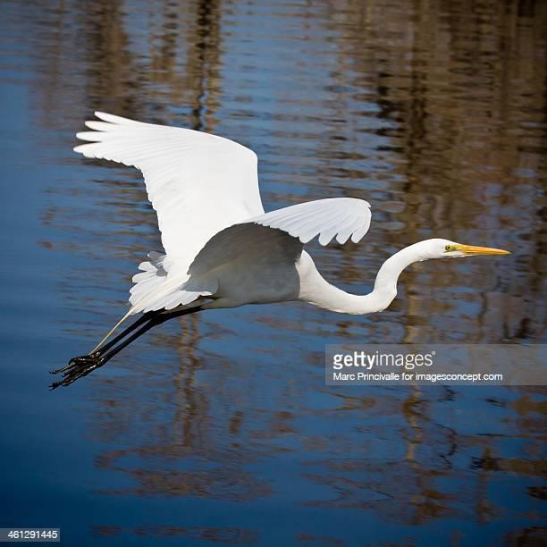Louisiana Bird White Egret