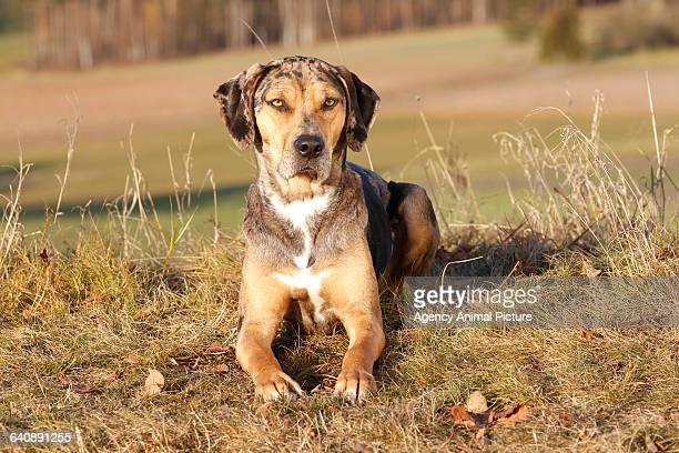 louisiana catahoula leopard dog - catahoula leopard dog stock pictures, royalty-free photos & images
