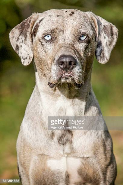 louisiana catahoula leopard dog - catahoula leopard dog stock photos and pictures