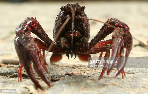 Louisiana crawfish or Procambarus clakrii walks across a path in the Tiergarten park on August 24 2017 in Berlin Germany Popular features in local...